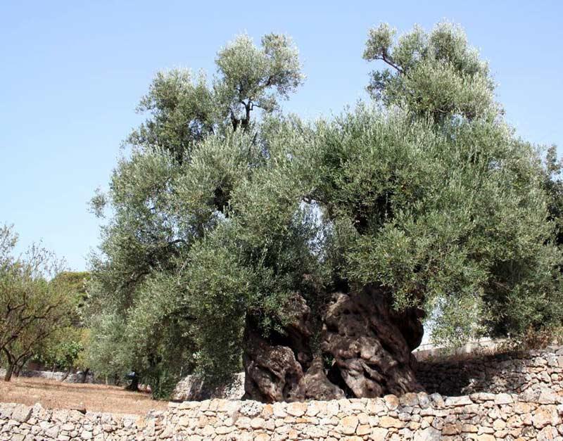 I tanti perch degli ulivi del gargano - Giardino con ulivo ...